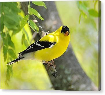 Goldfinch 299 Canvas Print