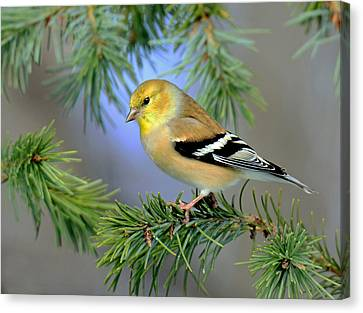Canvas Print featuring the photograph Goldfinch In A Fir Tree by Rodney Campbell