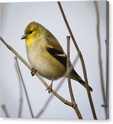 Canvas Print featuring the photograph Goldfinch In It's Winter Coat by Ricky L Jones