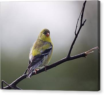 Canvas Print featuring the photograph Goldfinch Molting To Breeding Colors by Susan Capuano