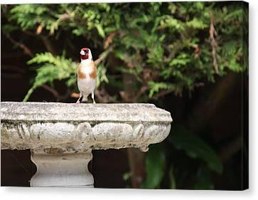 Goldfinch On Birdbath Canvas Print by Gordon Auld