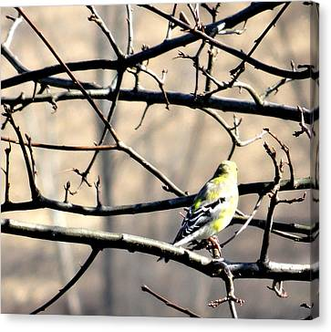 Goldfinch On Budding Branch Canvas Print