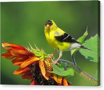 Goldfinch Pose Canvas Print by Dianne Cowen