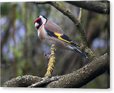 Goldfinch Canvas Print by Richard Thomas