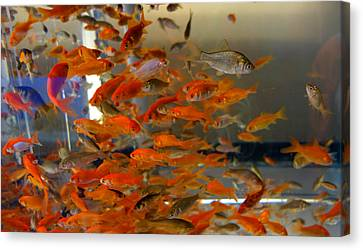 Goldfish Canvas Print by Diane Lent