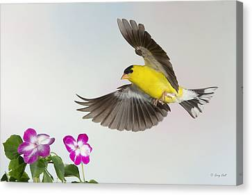 Canvas Print featuring the photograph Goldie Confronting His Impatiens by Gerry Sibell