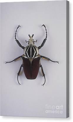 Goliath Beetle Canvas Print by Barbara Strnadova