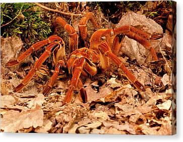 Arachnida Canvas Print - Goliath Bird-eater Spider, Theraphosa by David Northcott