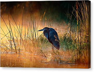 Goliath Heron With Sunrise Over Misty River Canvas Print by Johan Swanepoel