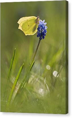 Gonepteryx Rhamni On The Blue Flower Canvas Print by Jaroslaw Blaminsky