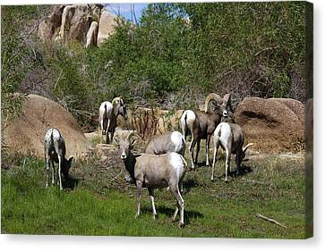 Bison Heard Canvas Print - Good Bye Bighorn Sheep by Renee Sinatra