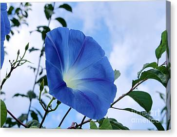 Good Morning Glory Canvas Print by Cathy  Beharriell