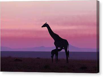Pink Dawn Canvas Print - Good Morning Masai Mara 7 by Libor Plo?ek