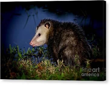 Canvas Print featuring the photograph Good Night Possum by Olga Hamilton