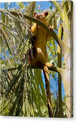 Goodfellow's Tree-kangaroo Canvas Print by Jason Asher