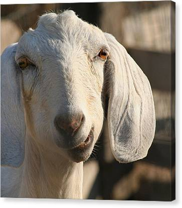 Goofy Goat Canvas Print by Art Block Collections
