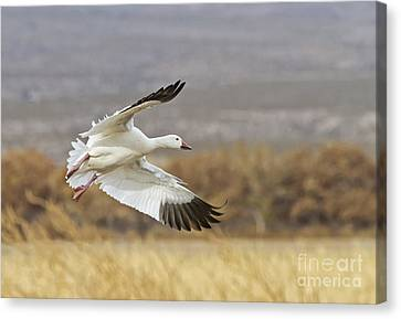Goose Above The Corn Canvas Print by Ruth Jolly
