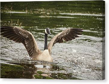 Goose Action Canvas Print by Karol Livote