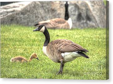 Goose And Gosling Afternoon Graze Canvas Print by Deborah Smolinske