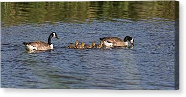 Canvas Print featuring the photograph Goose Family by Leif Sohlman