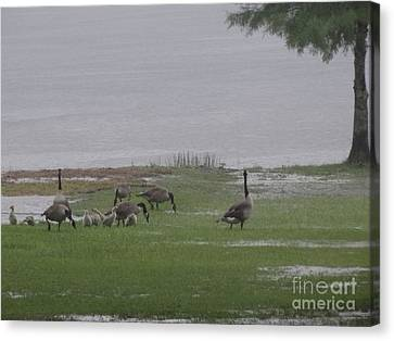 Goose Family Walk Canvas Print by Joseph Baril