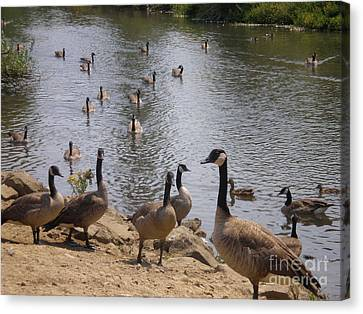 Canvas Print featuring the photograph Goose Goose by Suzanne McKay