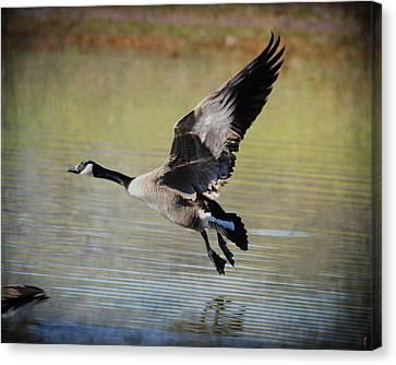 Goose In Flight 1 Canvas Print by Jai Johnson