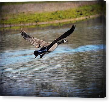 Goose In Flight 2 Canvas Print by Jai Johnson