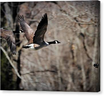 Goose In Flight 3 Canvas Print by Jai Johnson