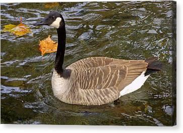 Goose On The Water Canvas Print by Joseph Skompski
