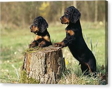 Gordon Setter Puppy Dogs Canvas Print by John Daniels