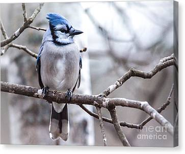 Gorgeous Blue Jay Canvas Print by Cheryl Baxter