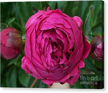 Gorgeous Cabbage Rose Peony Canvas Print by Maureen Tillman