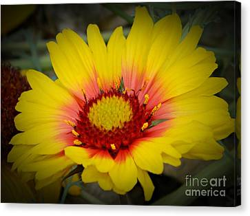 Gorgeous Daisy Canvas Print by Chalet Roome-Rigdon