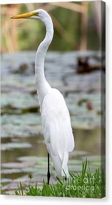 Gorgeous N Tall Great White Egret Canvas Print by Sabrina L Ryan
