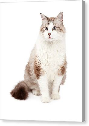 Gorgeous Ragdoll Cat Sitting Canvas Print by Susan Schmitz