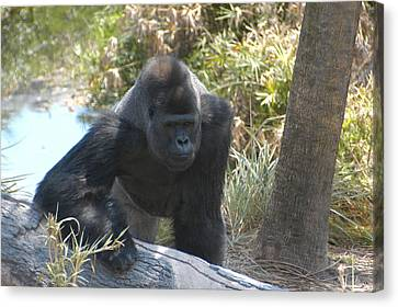 Gorilla 01 Canvas Print by Donald Williams