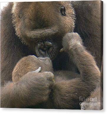 Gorilla Kiss Canvas Print
