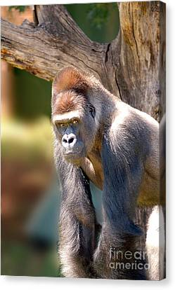 Canvas Print featuring the photograph Gorilla by Michael Edwards