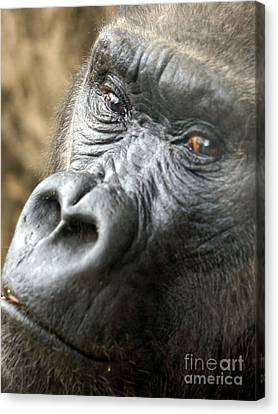 Gorilla Pic Canvas Print by Rachel Munoz Striggow