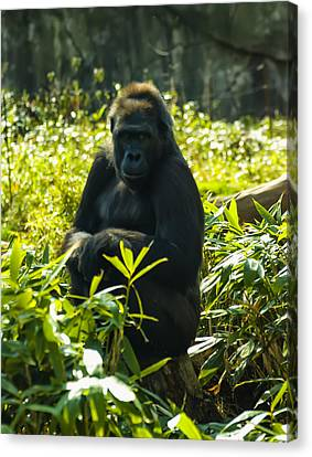 Gorilla Sitting On A Stump Canvas Print by Chris Flees