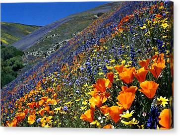 Gorman Flower Field In Full Bloom Canvas Print by Jetson Nguyen