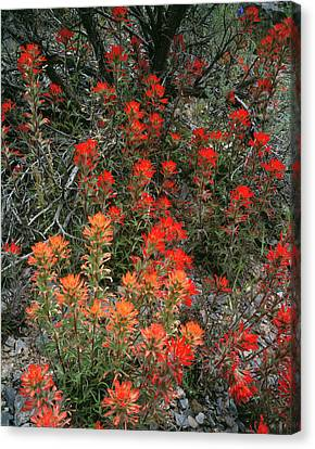 Goshute Creek Wilderness, Nevada Canvas Print