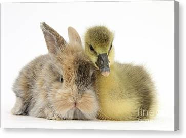 Gosling And Baby Bunny Canvas Print