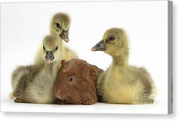 Gosling And Baby Guinea Pig Canvas Print