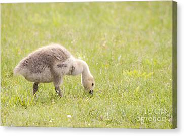 Canvas Print featuring the photograph Gosling by Jeannette Hunt