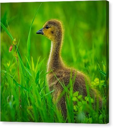 Flock Of Geese Canvas Print - Gosling by Paul Freidlund