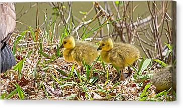 Goslings Canvas Print by Betsy Knapp