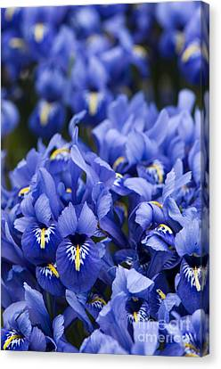 Got The Iris Blues Canvas Print by Anne Gilbert