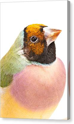 Gouldian Finch Erythrura Gouldiae Canvas Print by David Kenny